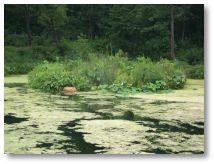 island-in-the-pond-scum